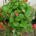 Strawberry 'Toscana'