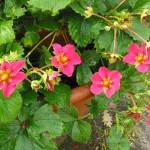 Strawberry 'Toscana' 2