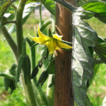 Tomatoes in bloom