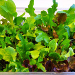 Micro Salads and Vegetables