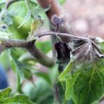 Sick tomato plants