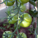 Tomato crop only in the greenhouse