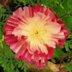 Flower cp