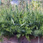 Companion Planting – Deterring Pests.