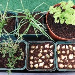 Selection of Potted Herbs