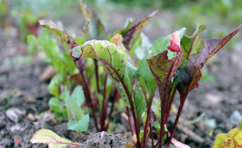 Growing Beetroot From Seeds Direct Or In Modules