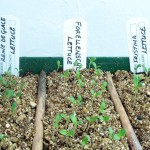 01 Lettuce Seedlings