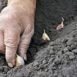 01 Planting Garlic