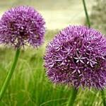 06 Garlic Flowers