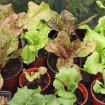 06 Mixed Potted Lettuces