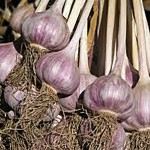 07 Drying Garlic