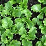 07 Young Webbs Lettuce