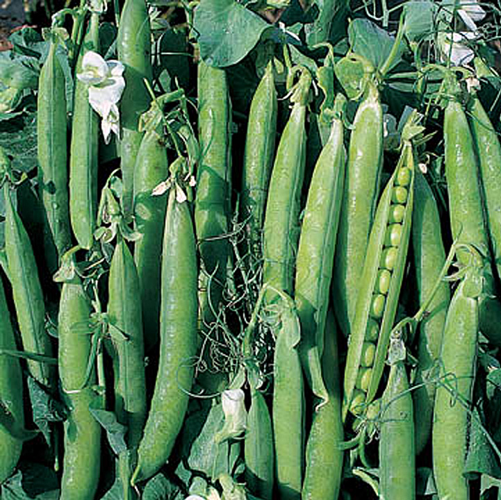Growing Garden Peas: Growing Peas And Mangetout From Seeds In The UK