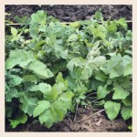 Parsnips ready to harvest