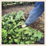 Digging up the parsnips