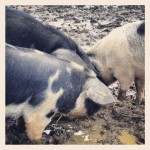 Pigs eating the leftovers.