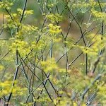 Growing Fennel.