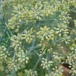 05 fennel seedhead