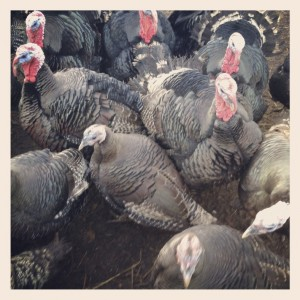 Turkeys.