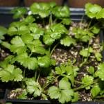 02.Celery seedlings 2