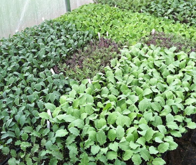 Planting Kale In Pots: Growing Kale