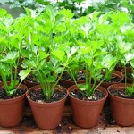 03.Potted Seedlings