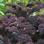 08.Kale Redbor