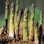 Asparagus – grow from crowns or seed?