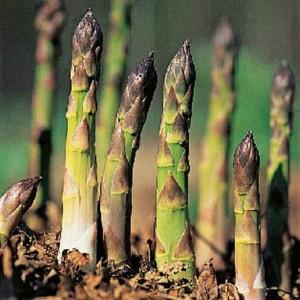 asparagus shootsLL_rs