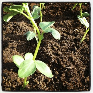Broad beans seedlings.