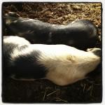 Pigs enjoying the sun!